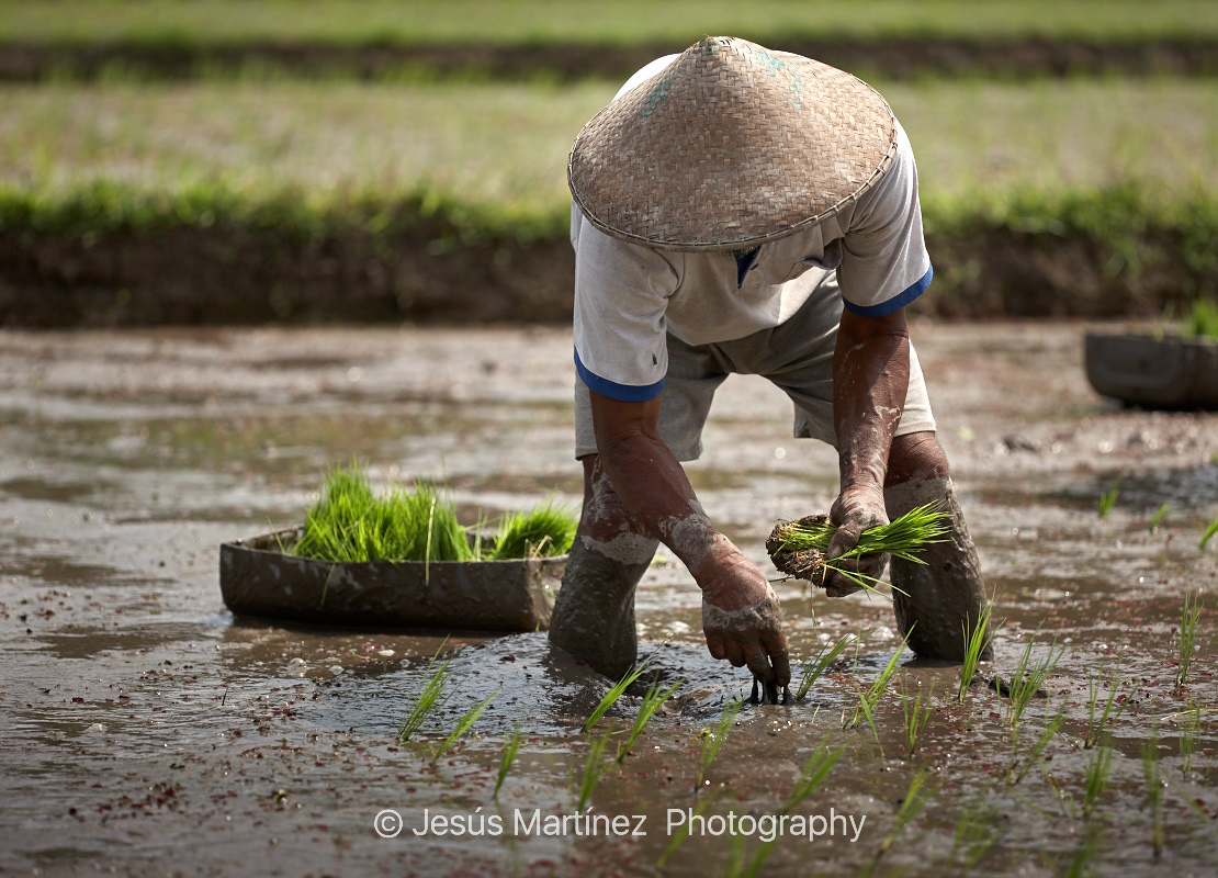 Balinés plantando arroz